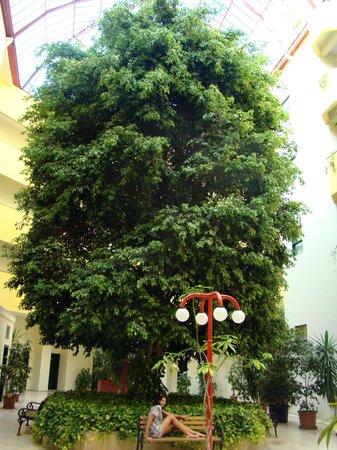 Miramare Queen Hotel: huge tree inside the hotel
