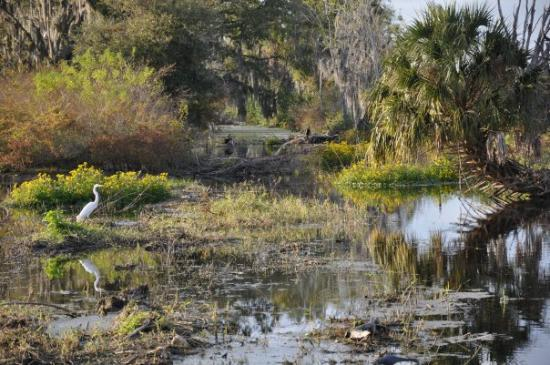 Winter Haven, FL: egret in marsh