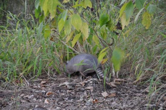 Winter Haven, Floryda: armadillo