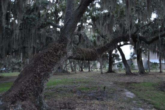 Winter Haven, FL: grand ol' tree