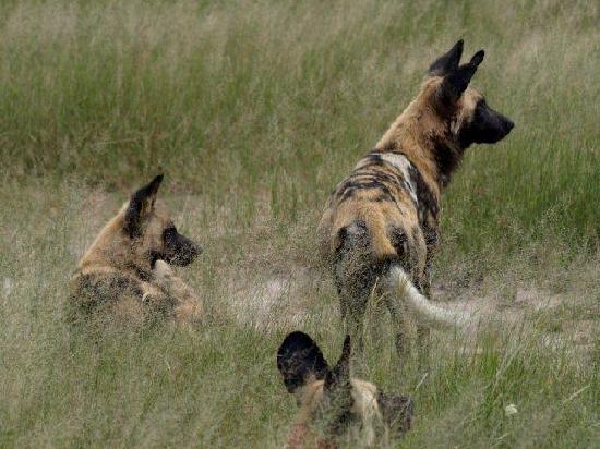 Wilderness Safaris Davison's Camp: African Wild Dogs in Hwange