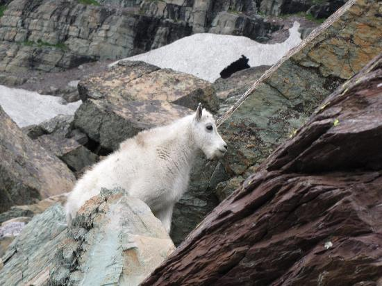 Sperry Chalet: Another goat above the trail to Sperry Glacier