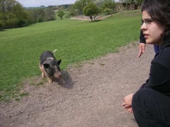 Neubrucke, Jerman: The pigs came to visit as we walked through... Here Doris tries to get this one to come close en