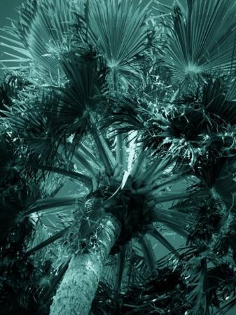 Phoenix, AZ: Blue Palms