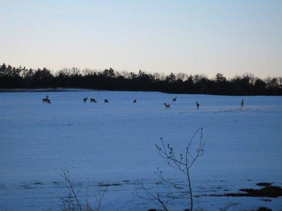 Kansas City, KS: Deer do walk on water (allbe it frozen)