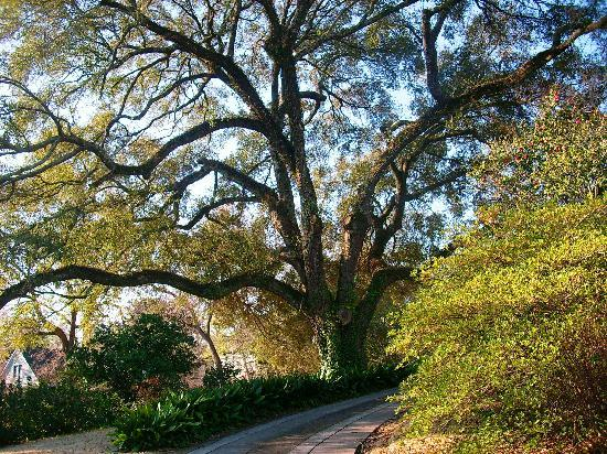 The Burn: The front yard live oak