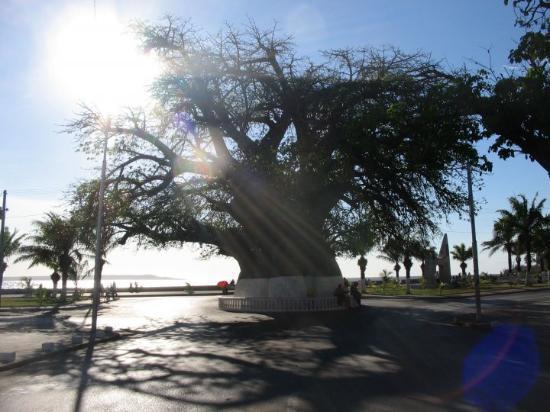 Mahajanga, Madagaskar: Le célèbre baobab de Majunga