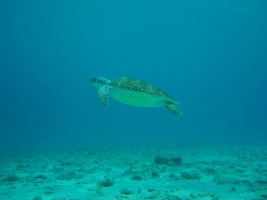 All West Apartments: Green Sea Turtle