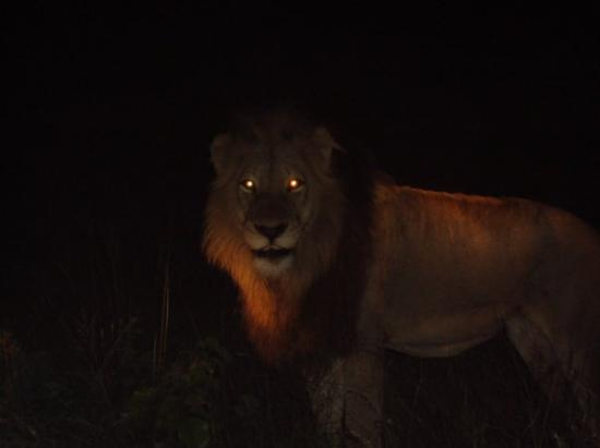Lion By Night Picture Of Manzini Manzini District