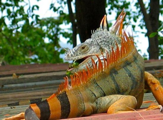 Iguana Sanctuary Picture Of Manzanillo Colima Tripadvisor