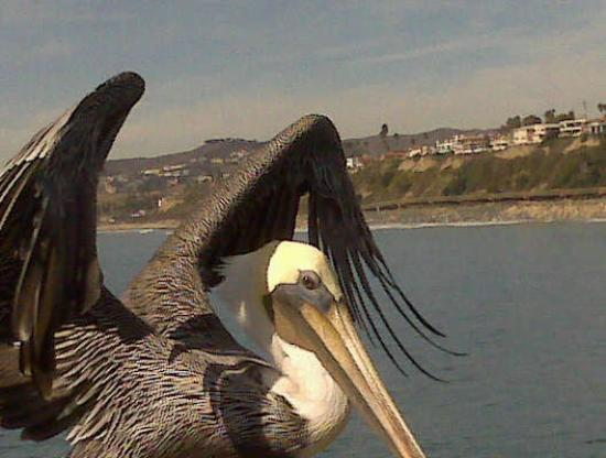 San Clemente, CA: I scared the pelican on the pier today
