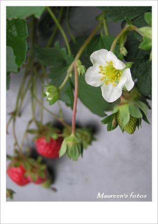 Happy strawberry farm. (C750UZ) DaHu@TW.MiaoLi