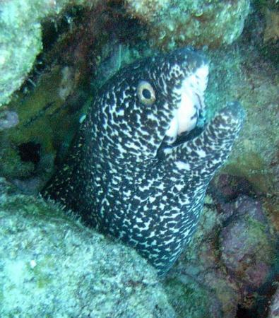 Bonaire: moray eel