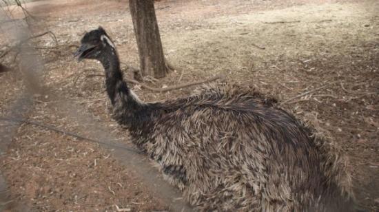 Waikerie, Australia: emu