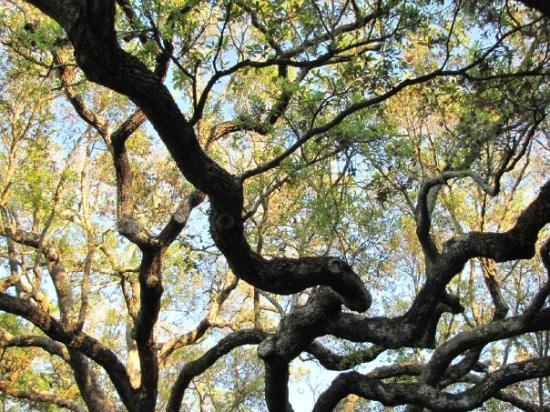 Charleston Waterfront Park: Gnarley Charleston tree in park.