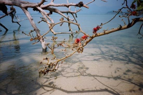Koh Chang, Thailand: Certains arbres poussent dans la mer; ils n'ont  pas de feuilles mais uniquement des fleurs roug