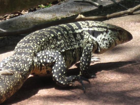 Foz do Iguacu, PR: The lizards here are huge.... up to four feet long.