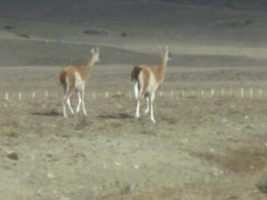El Calafate, Argentina: Wild guanacos are related to the llama and alpaca.