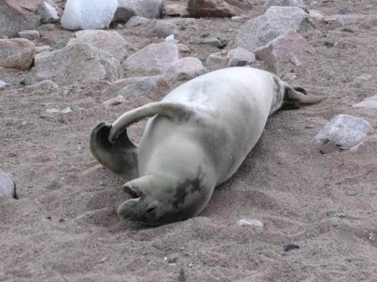 Deception Island: Leopard seal relaxing on the beach.
