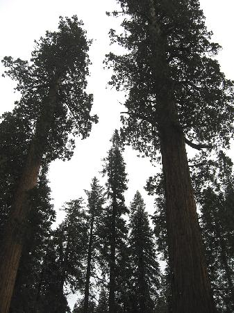 ‪‪Three Rivers‬, كاليفورنيا: Giant Sequoia Grove 16 miles up the road‬
