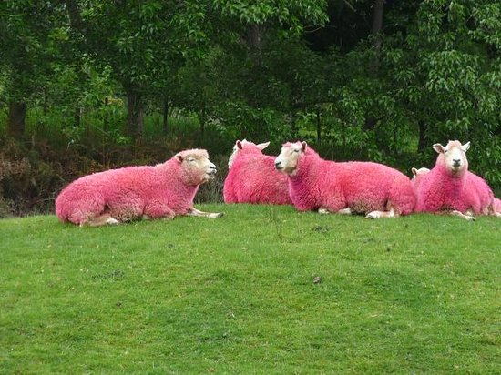 Pink Sheep At Sheepworld Warkworth NZ