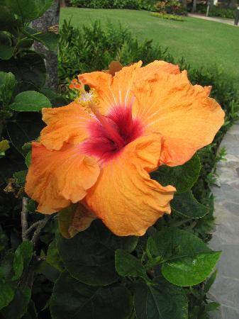 Kauai Beach Resort: One of the many colorful hibiscus flowers that are on the grounds