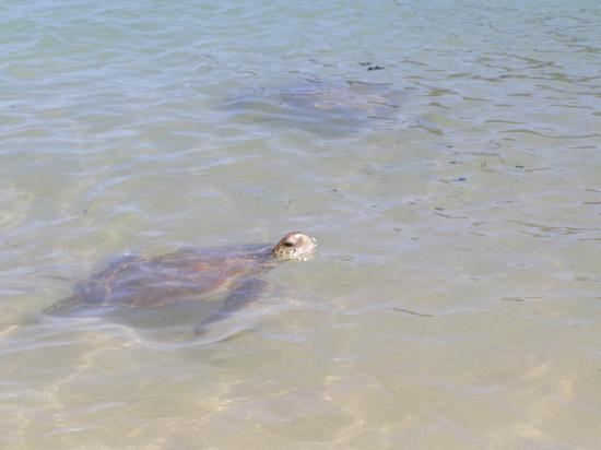 Lorhiti Apartments: Turtles - we swam with them