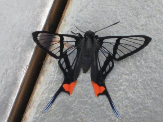 Iguazu National Park, Argentina: I thought this butterfly was dead at first because it was so still and because its wings are tra