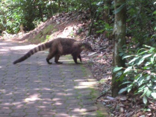Iguazu National Park, Argentina: A coati, relative of the racoon.