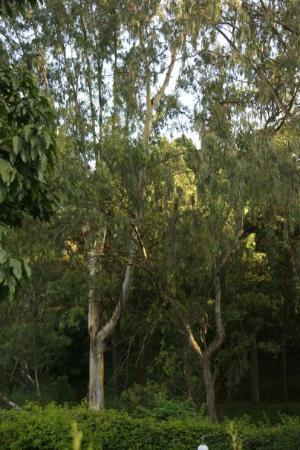 Sentrim Nairobi Boulevard Hotel: Gum trees, we could be at home!!