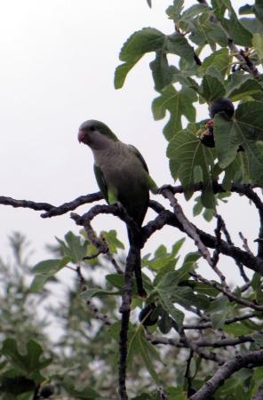 Mendoza, Argentina: Parrot