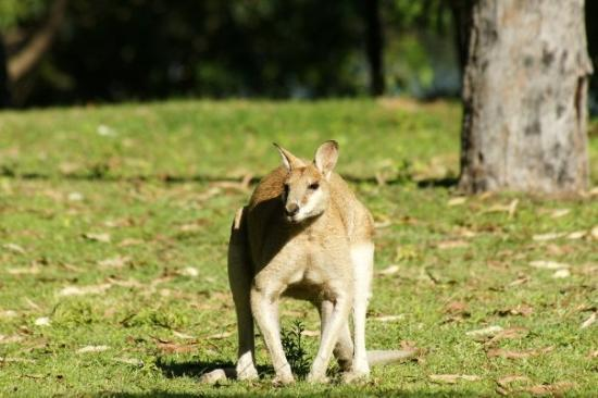 Katherine, Australia: Agile Wallaby