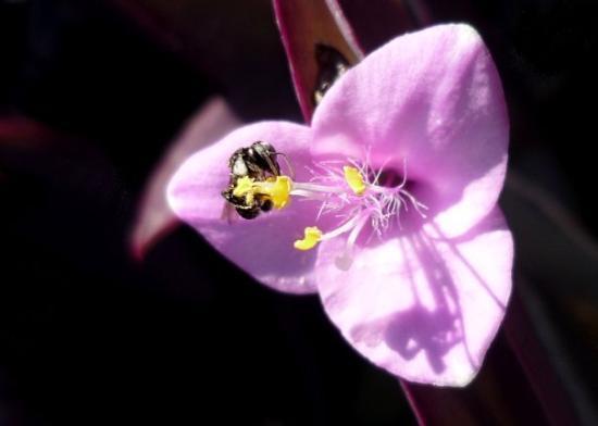 Darwin, Australia: native bee