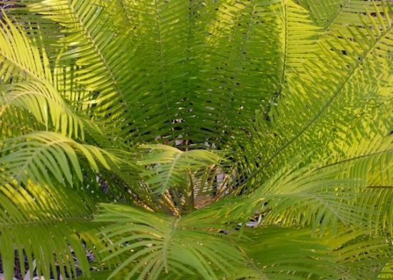 Darwin, Australia: Cycad