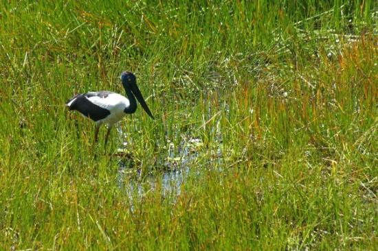 Darwin, Australia: Black-necked Stork - formally known as a Jabiru, at Fogg Dam