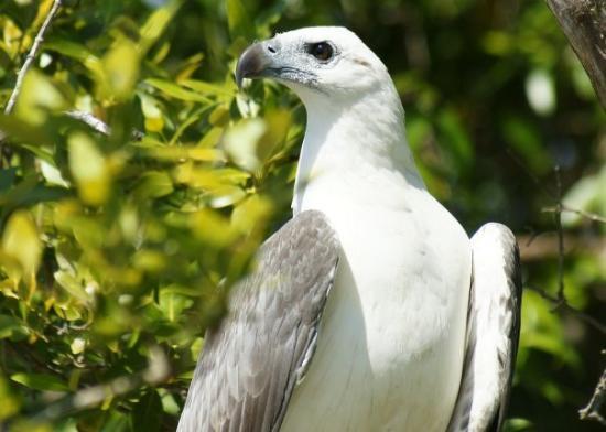 Darwin, Australia: Sea Eagle on Adelaide River