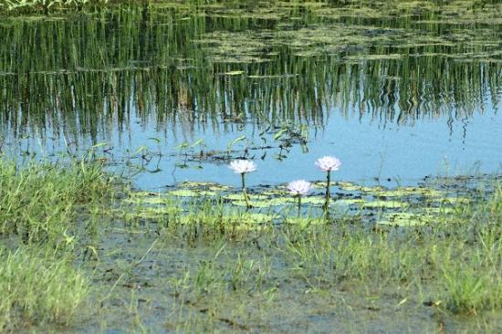 Darwin, Australia: Watercolour waterlillies - Fogg Dam, near Adelaide River