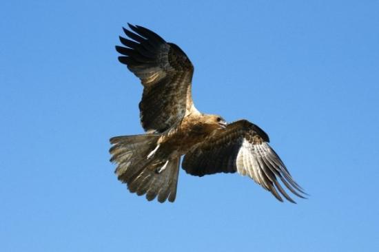 Darwin, Australia: Black shouldered Kite on Adelaide River