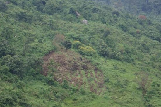 Kisoro, Uganda: To the right of the clearing is the fig tree that the glorillas were in and in the clearing you