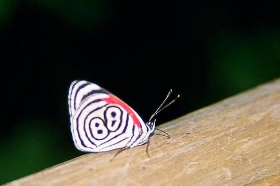 Puerto Iguazu, Argentina: The 'Number 88' butterfly