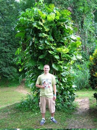 Montego Bay, Jamaica: Joe standing in front of some Jamaican Jungle Tree
