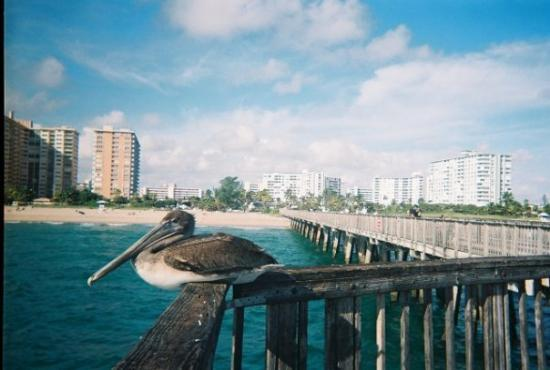 Pompano Beach, FL: Pelican