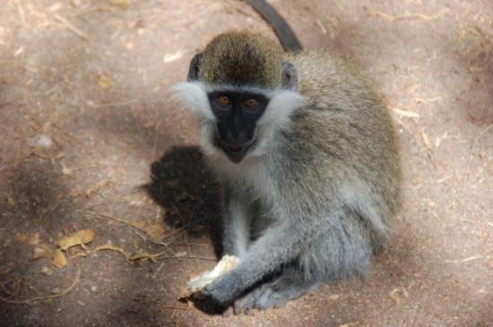 Awasa, Etiopia: monkey
