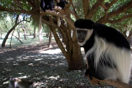 Awasa, Etiopia: Colobus monkey