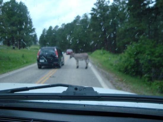 Keystone, SD: Blackhills, SD (wild donkey in road) He was licking people's windows.
