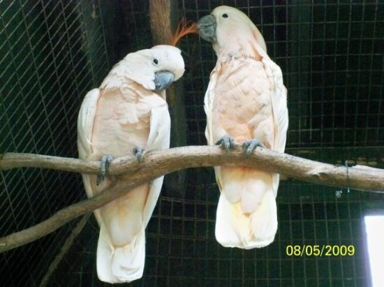 Ardastra Gardens, Zoo and Conservation Center: mmmmm that feather is good!