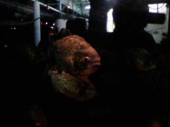 Ripley's Aquarium of the Smokies: Piranha!!