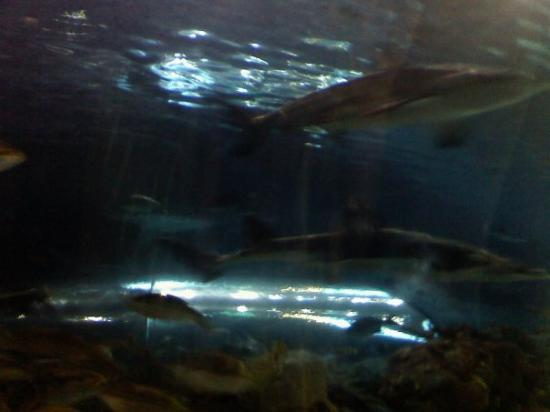Ripley's Aquarium of the Smokies: Shark Attack!!