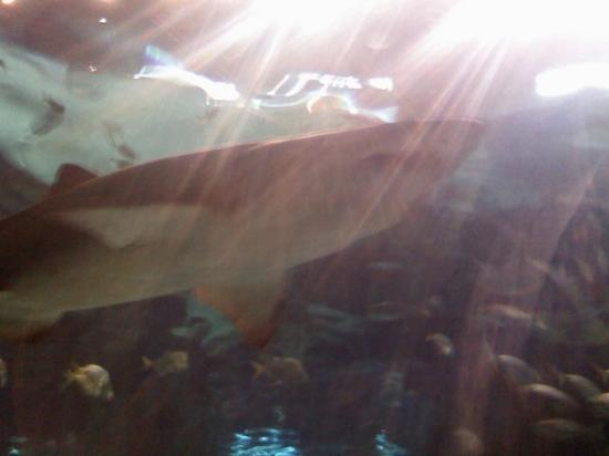 Ripley's Aquarium of the Smokies: ....shark :P