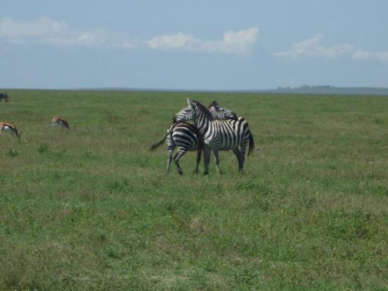 Ngorongoro Conservation Area, Tanzania: There is only one real reason that they do this with each other...I thought to scratch (guide sa